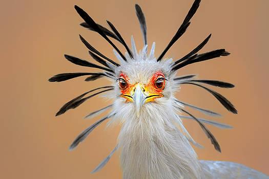 Secretary bird portrait close-up head shot by Johan Swanepoel