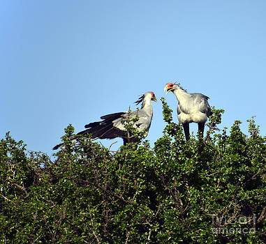Secretary Birds Discuss Their Nest Building by AnneKarin Glass