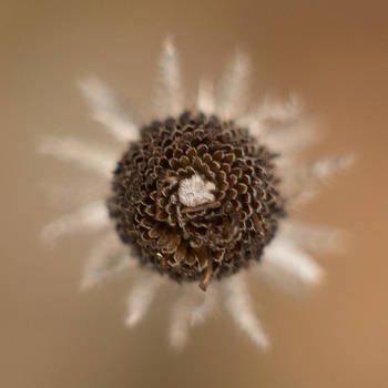 Seed Head DOF by Dawn Hagar