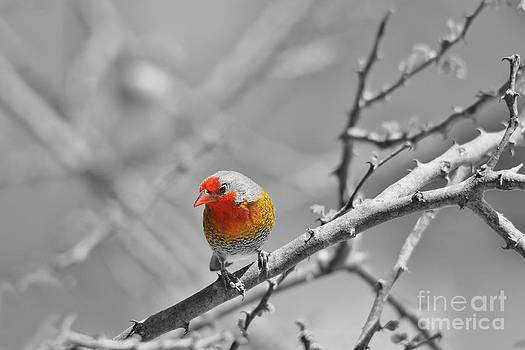 Hermanus A Alberts - Selective Orange - Melba Finch Solitude