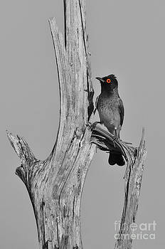 Hermanus A Alberts - Selective Red - Bulbul Perch