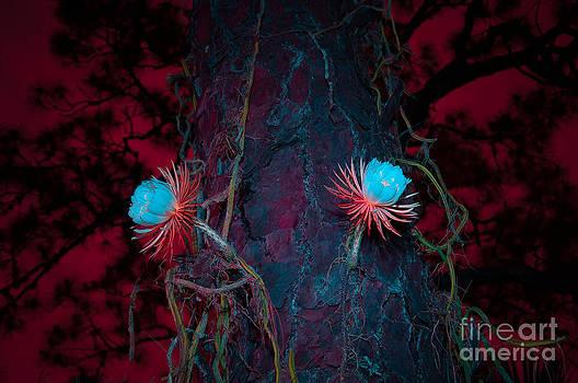Selenicereus blossoms at night by Shawn  Bowen