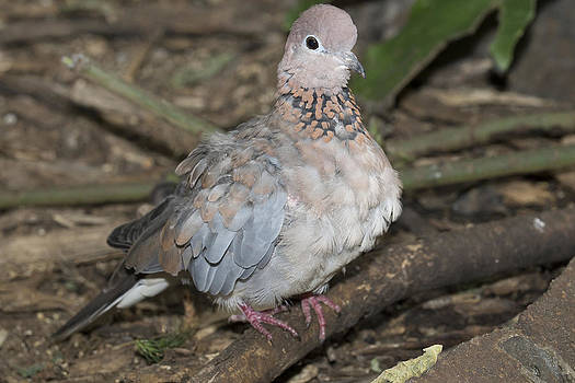 Senegal Turtledove by Gerald Murray Photography