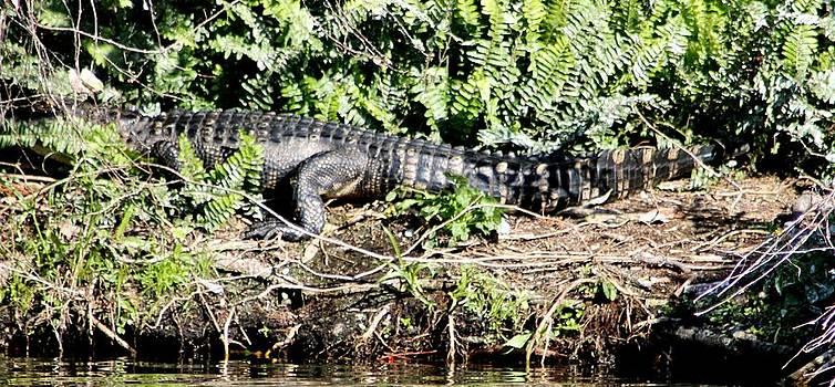 Senor Alligator by Marcia Crispino