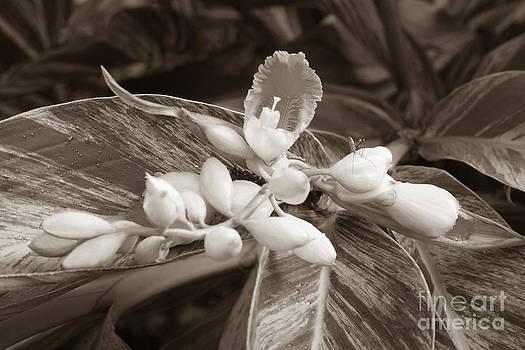 Connie Fox - Sepia Ginger Lily Blossom and Assassin Bug