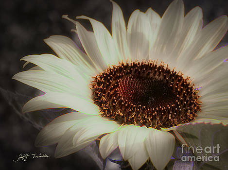 Sepia  Sunflower Photography Digital Art by Heinz G Mielke
