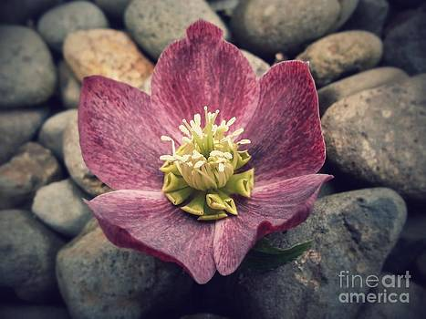 Serene Hellebores by Heather L Wright