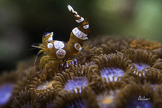 Sexy Shrimp by Aaron Acker