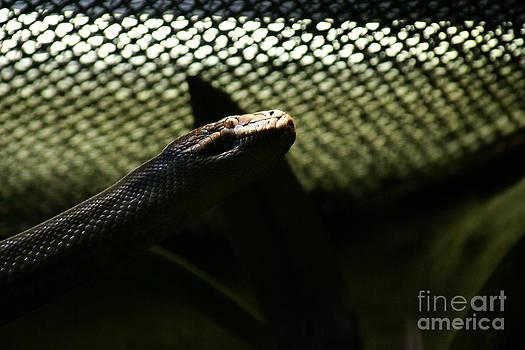Shadow Snake - 1 by Linda Shafer