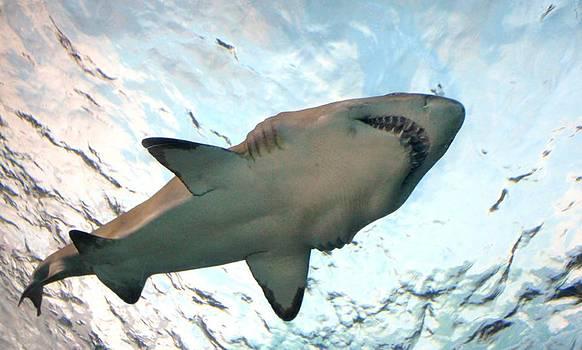 Paulette Thomas - Shark