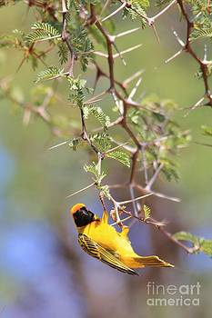 Hermanus A Alberts - Sharp Golden Beauty Weaver