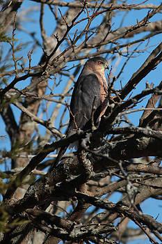 Sharp-Shinned Hawk by George Miller