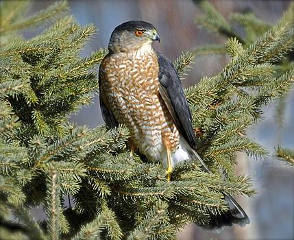 Sharp Shinned Hawk by Rodney Campbell