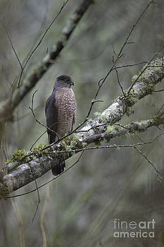 Tim Moore - Sharp-shinned Hawk