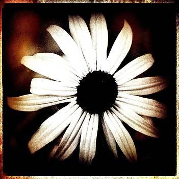 Laura Carter - Shasta Daisy - Sepia Tones Photograph