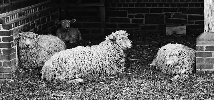 Sheep 2 by Nicole  Lambert
