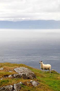 Sheep at Murlough Bay by Sharon Sefton
