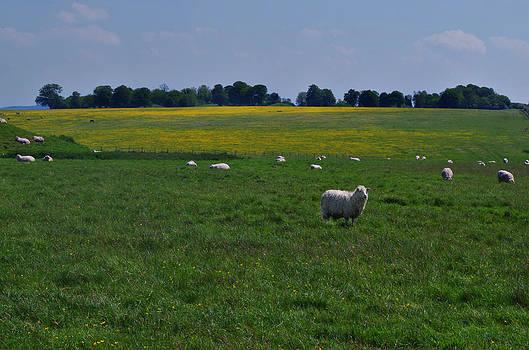 Sharon Popek - Sheep at Stonehenge