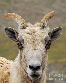 Mae Wertz - Sheep