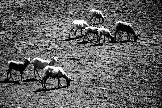 Jon Burch Photography - Sheep Dip
