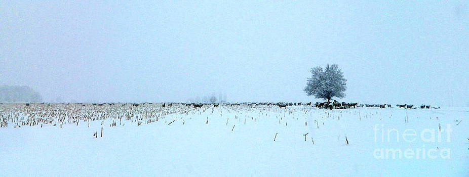 Sheep in a Snowy Corn Field by Sara  Mayer