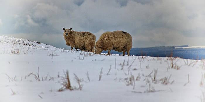 David Pringle - Sheep in Snow