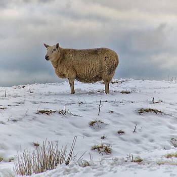 David Pringle - Sheep in Snow II