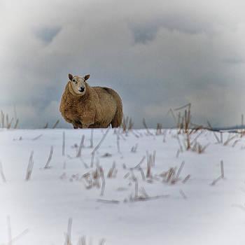 David Pringle - Sheep in Snow III