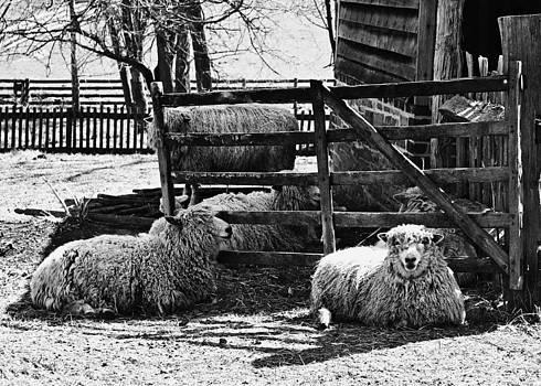 Sheep  by Nicole  Lambert