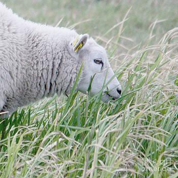 Sheep by Sara  Meijer