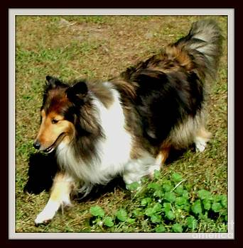 Gail Matthews - Sheltie and her Shadow