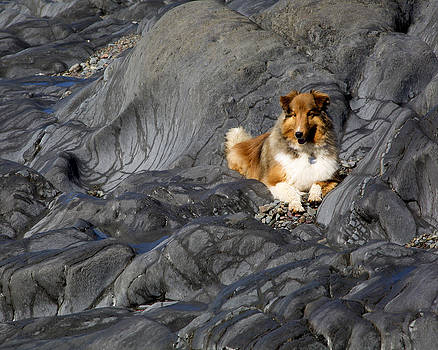 Sheltie on the Rocks by Allan MacDonald