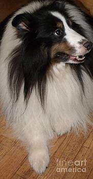 Gail Matthews - Sheltie waiting for a Treat