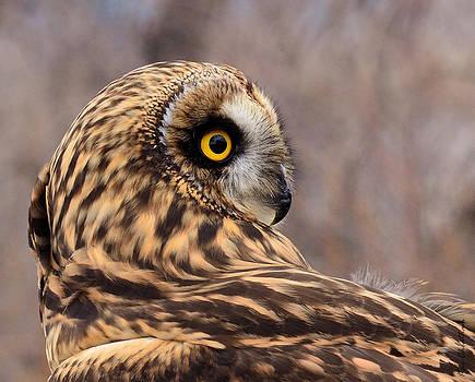 Kae Cheatham - Short-eared Owl 1