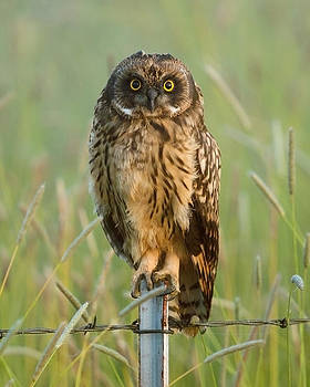 Short-eared Owl by Doug Herr