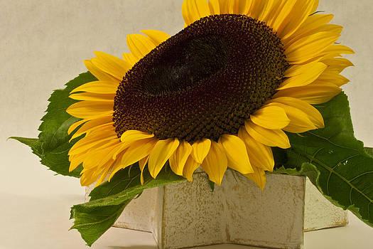 Sandra Foster - Short Petaled Sunflower In Star Box