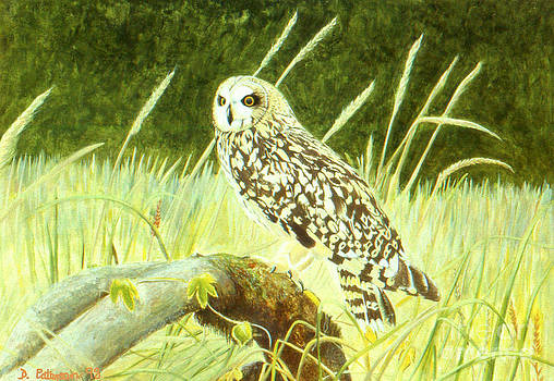 Shorteared Owl by David Paterson