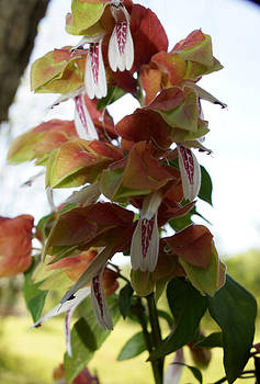 Shrimp Plant by Kim Pate