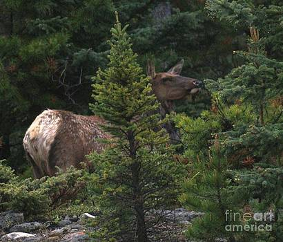 Gail Matthews - Shy Elk trying to hide