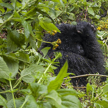 Shy Gorilla by Paul Weaver