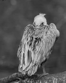 Shy Pelican b/w by D Glen McNeill
