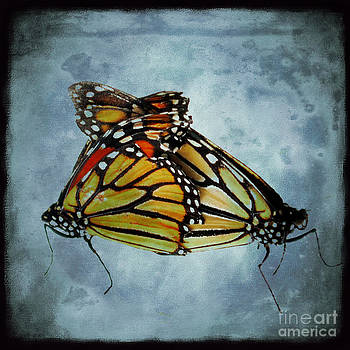 Siamese Butterfly by Sharon Kalstek-Coty