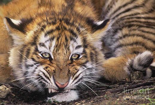 Dave Welling - siberian tiger cub panthera tigris altaicia wildlife rescue