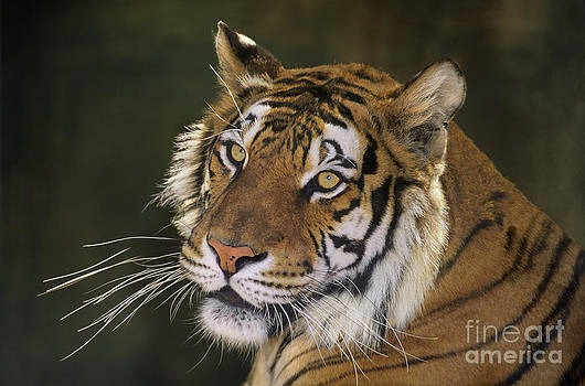 Dave Welling - Siberian Tiger Portrait Endangered Species Wildlife Rescue