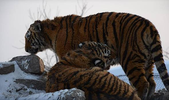 Siberian Tigers by Brett Geyer