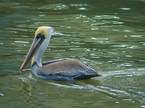 Sidelong Look From A Pelican by Sarah Crites