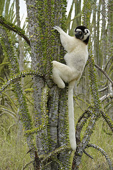 Michele Burgess - Sifaka in the Spiny Forest