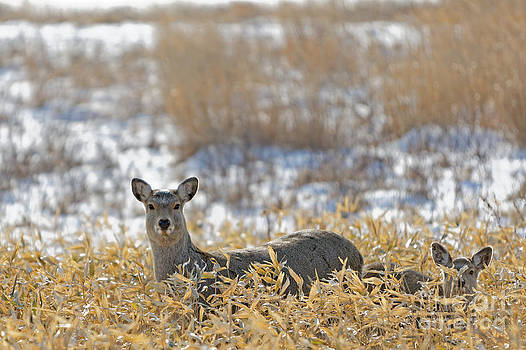 Sika Doe and Fawn by Natural Focal Point Photography