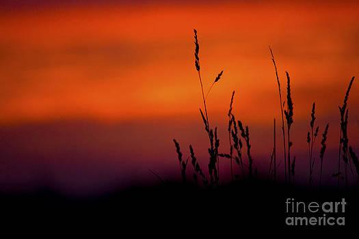 Darren Burroughs - Silhouette Grasses At Sunset