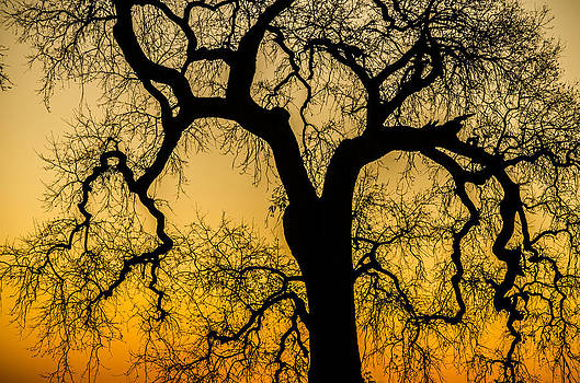 Silhouette Oak by Spencer Hughes